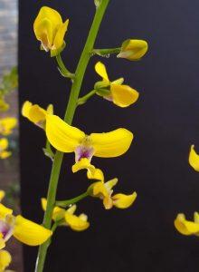 Eulophia speciose                             owned by Karsten Wodrich